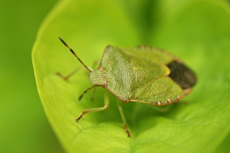 Common Green Shield Bug