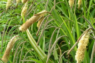 Pendulous Sedge