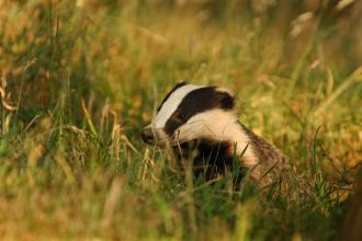 Badger © Andrew Parkinson/2020VISION