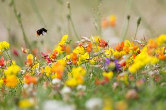Bumble bee on bird's-foot-trefoil