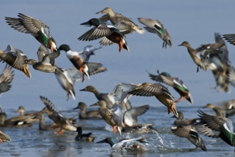 Shovelers, gadwalls and teal