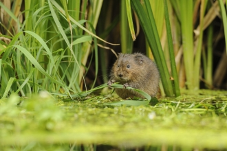 Water vole (c) Terry Whittaker