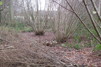 Hazel Coppice Old Park Wood