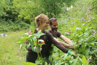 Himalayan balsam picking