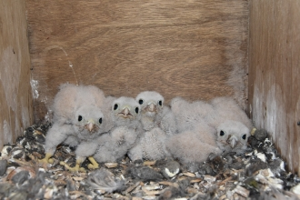 Kestrel chicks in nest box