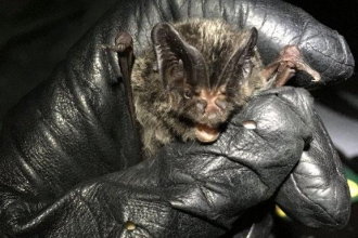 Barbastelle bat in hand