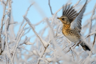 Fieldfare on frosty trees