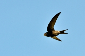 Swift in the air