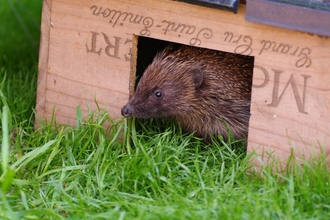 Hedgehog in feeding box