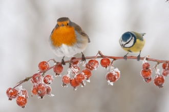 Robin and bluetit in the snow