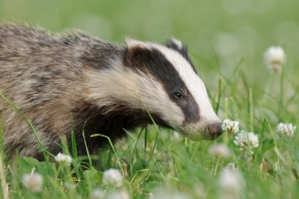 A badger sniffing a flower