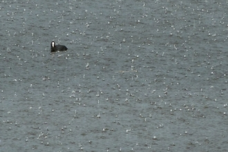 Coot in the rain