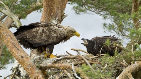White-tailed eagle with chick