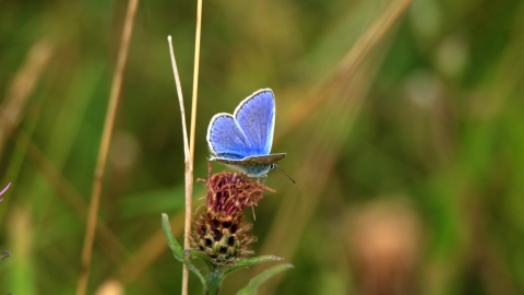 Common Blue (c) Josh Kubale