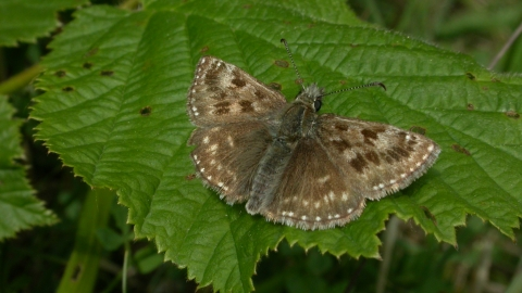 Dingy Skipper butterfly