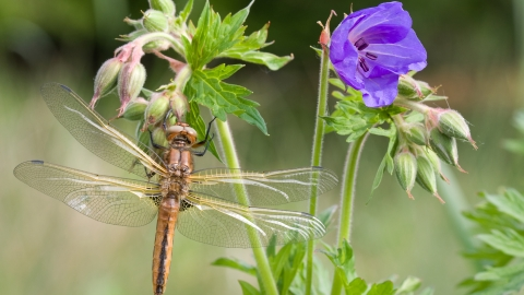 Dragonfly - scarce chaser