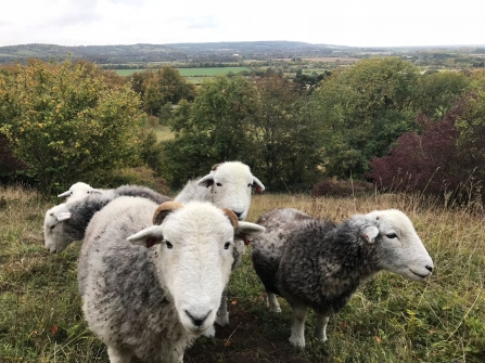 Herdwick sheep at Aldbury Nowers (c) Laura Baker