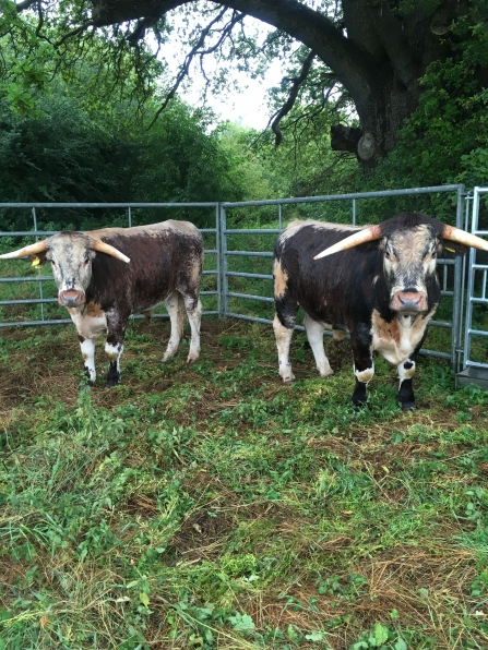 Longhorn cattle at Panshanger Park