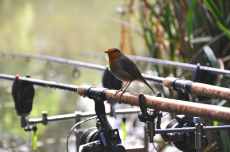 Robin on fishing rod