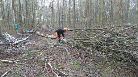 Tree felling at Balls Wood