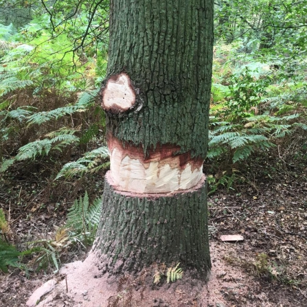 Ringbarked tree at Fir & Pond Woods