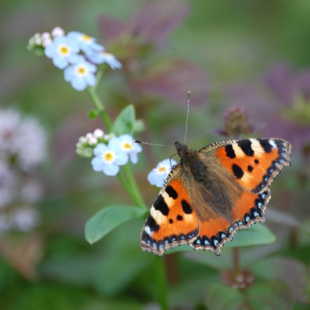 Small tortoiseshell butterfly on flowers