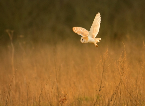 Barn owl over field