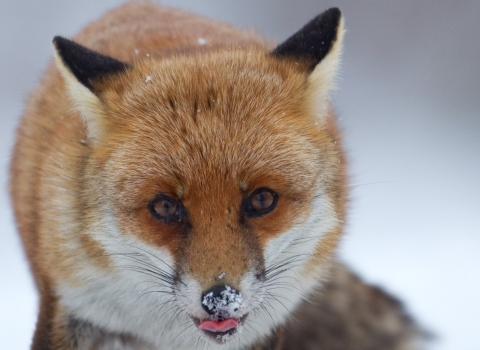 Fox with snowy nose
