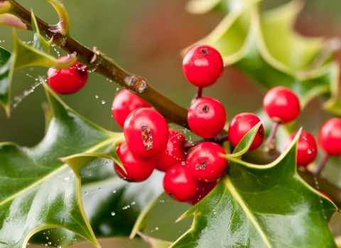 Holly berries